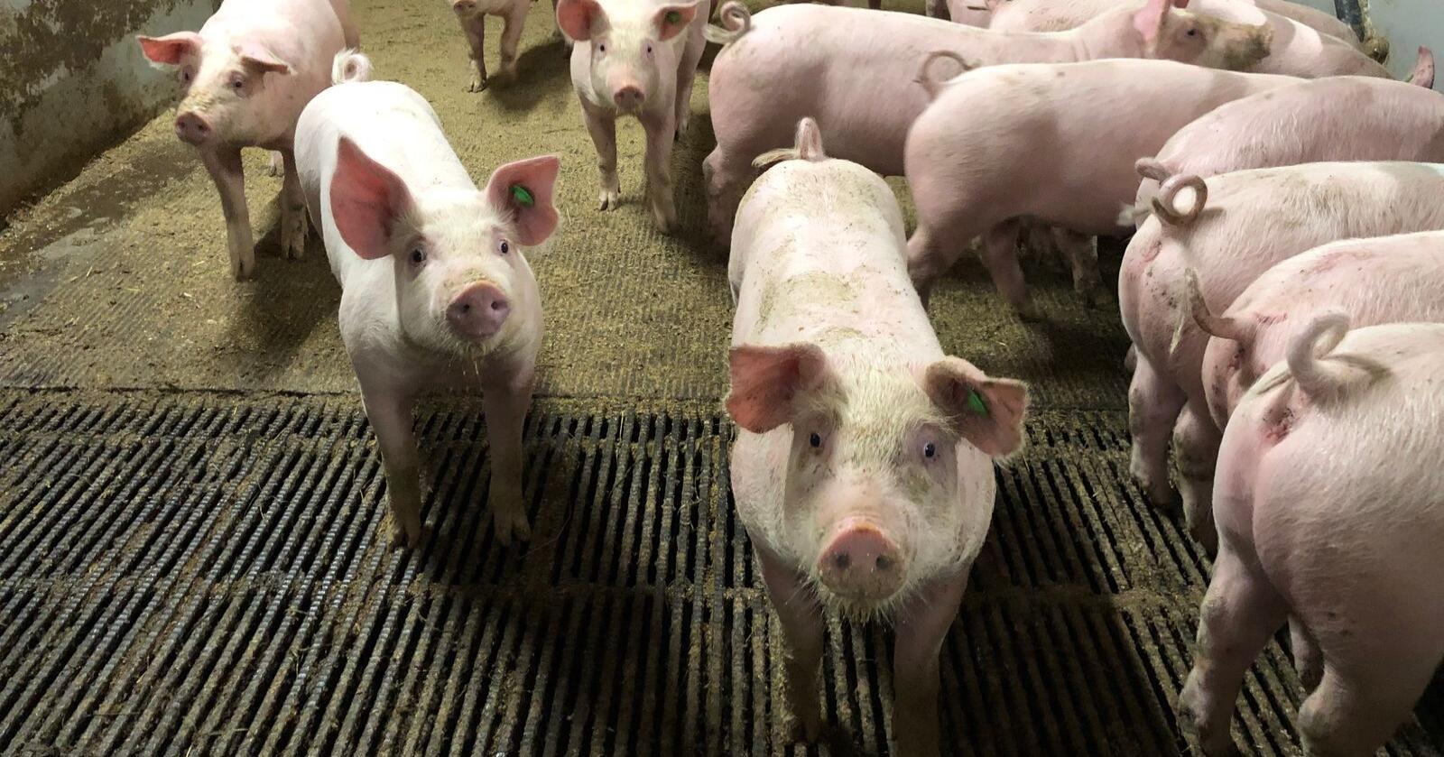 God grillsesong: Det er tatt ut mye svinekjøtt fra reguleringslager, og per i dag ligger det ikke en eneste hel gris på lager. (Foto: Karl Erik Berge)