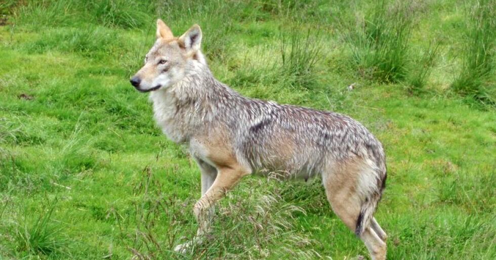 Det er gitt løyve til å skyte én ulv på skadefelling i Nord-Østerdalen. Foto: Hans-Petter Fjeld (CC-BY-SA 3.0)