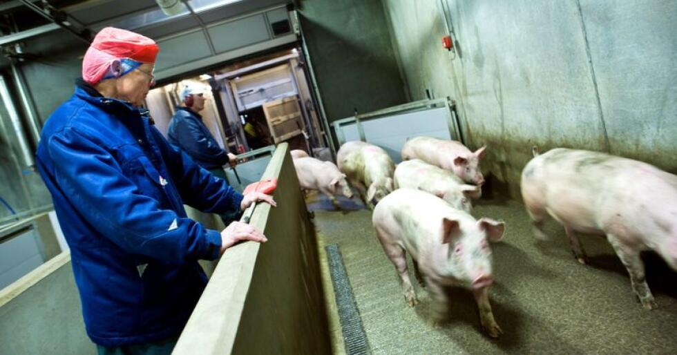 Totalt, skal det i år gjennomføres nærmere 2 500 kontrollbesøk i dansk svinenæring. 700 av dem er knyttet til målrettede tilsynskampanjer. Her sees slaktegriser hos Danish Crown. Foto: Danish Crown