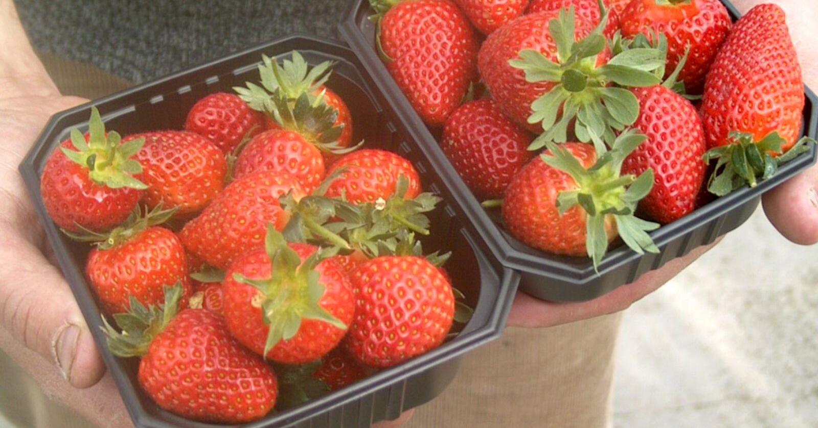 Lite: Det er så små volumer at vi må vente til sankthans før det blir jordbær til alle, skriver Gartnerhallen på sine hjemmesider. (llustrasjonsfoto: Bama)
