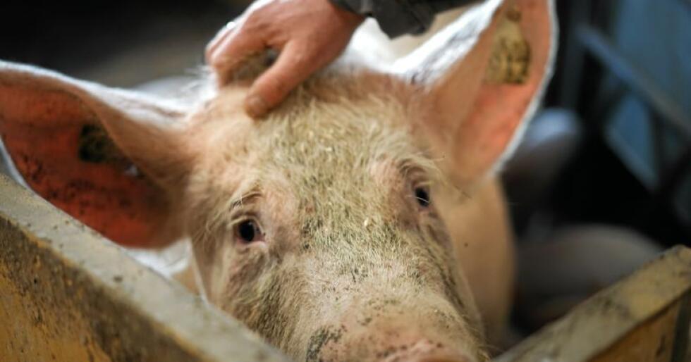 Dyrevelferd: Skal vi gjøre det beste for dyrene så trenger vi dialog, vi trenger fagkunnskap og vi trenger samarbeid på tvers av hele næringa, skriver Lars Petter Bartnes. Foto: Benjamin Hernes Vogl