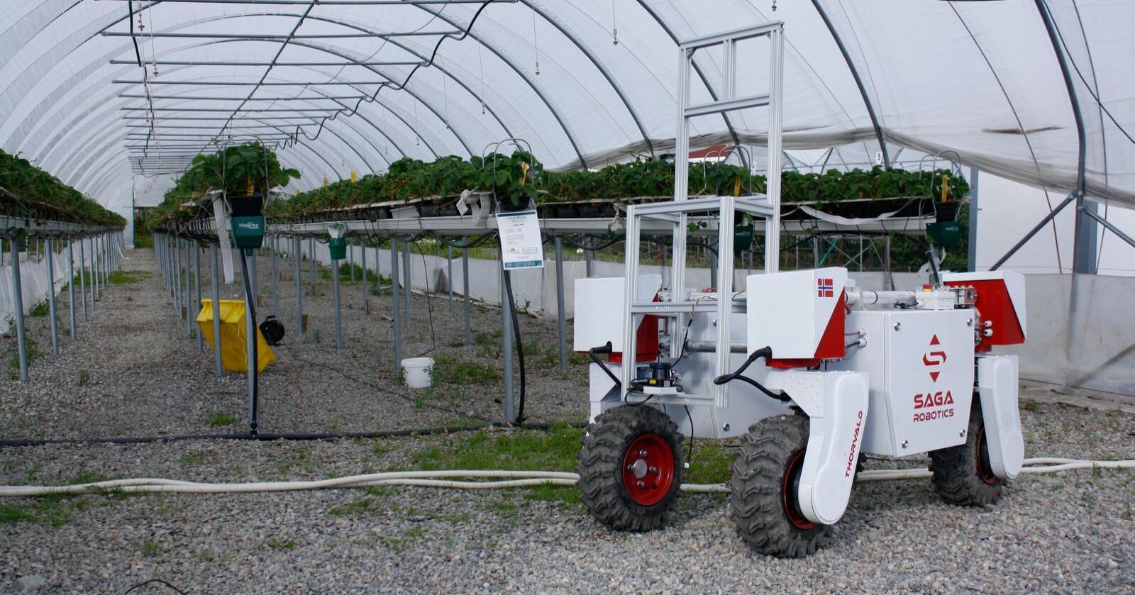 Ulike versjoner av roboten - døpt Thorvald - testes ut på flere steder, for eksempel innen grønnsaker, veksthus og jordbruk. Her er Thorvald under testkjøring i jordbærdyrking. Foto: Pål From
