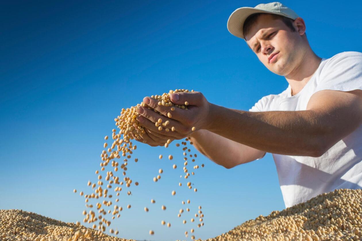 Soya er blitt en viktig del av norsk fôrproduksjon. Derfor jobber alltid Felleskjøpet for at soyaproduksjonen skal bli mer bærekraftig, skriver John Arne Ulvan. Foto: iStock