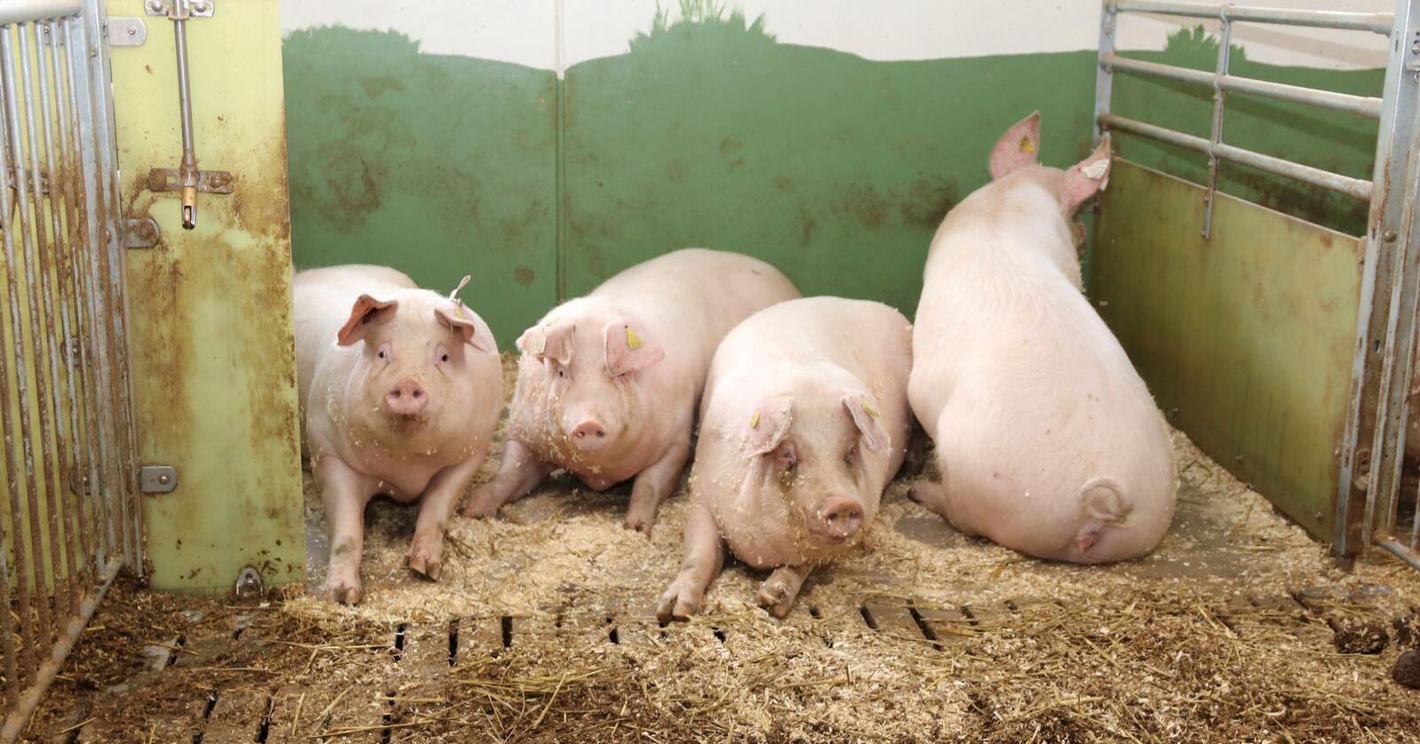 ENIGE: Staten og svinenæringa er enige om en ny forskrift for hold av svin. Foto: Øystein Heggdal