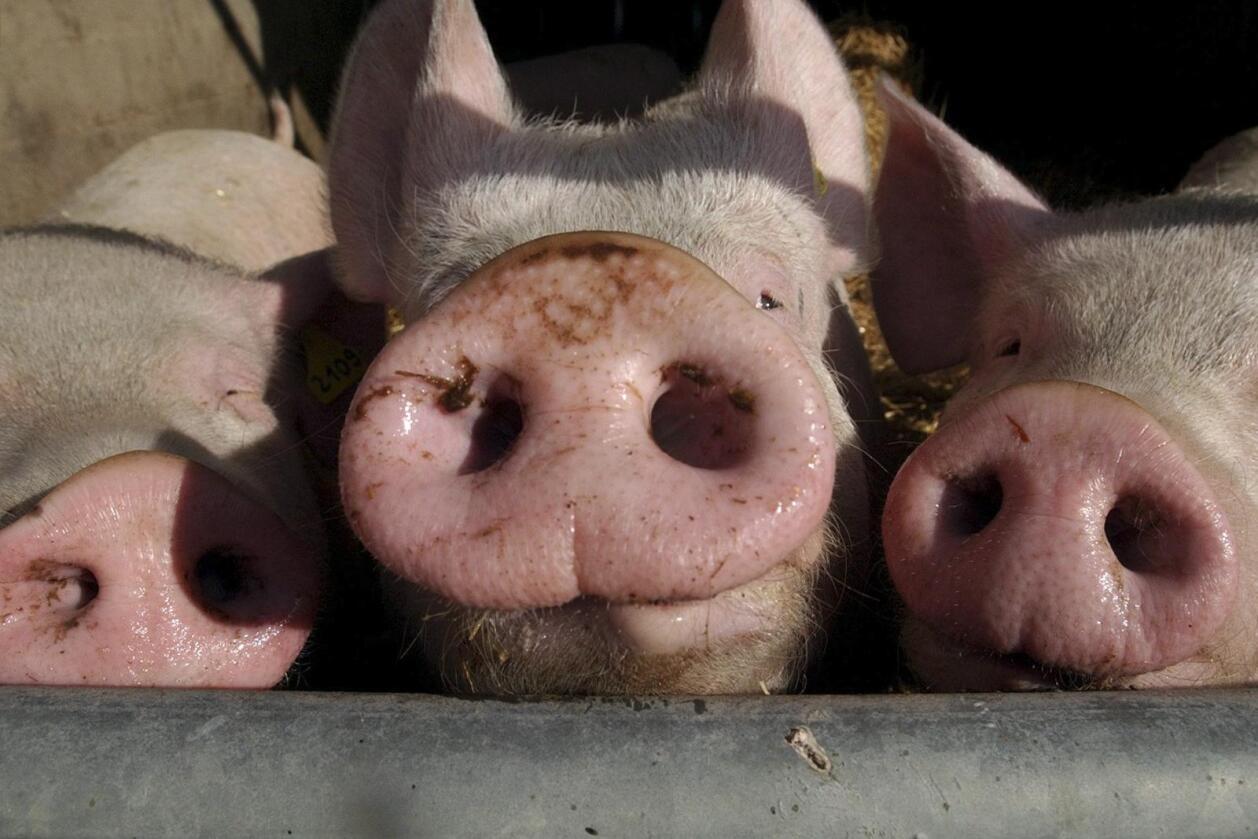 Bruken av genmodifisert fôr til husdyr har ikke påvirket helsen deres viser en studie av over 100 milliarder dyr. Foto: Colourbox