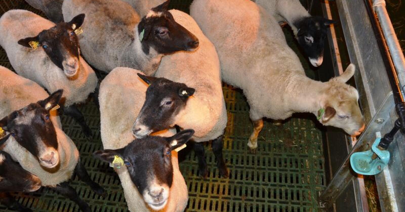 I februar i år lanserte Nortura «Gilde Hverdagslam». Hensikten er å inspirere folk til å lage hverdagsmat med produkter som lammekjøttdeig, strimlet lam, lammekoteletter, lammeskav og lammelår i skiver. Kampanjen har slått an. (Arkivfoto)