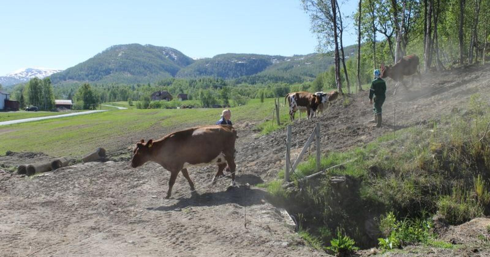Flere bønder sier til Helgeland Landbrukstjenester at de tjener inn en dyktig ansatt, og de fleste betaler godt for en god avløser. Bildet er fra Balsfjord i Troms. (Foto: Norsk Landbruk)