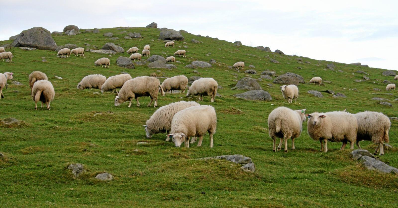 Naturressursar: Sauer og andre beitedyr har mest norske råvarer i fôret, viser rapport. Samtidig er det desse dyreslaga som tapar terreng i marknaden. Det kan få store konsekvensar for både bruk av naturressursane, sjølvforsyninga og distrikta, ifølgje forskarar. Foto: Bjarne Bekkeheien Aase