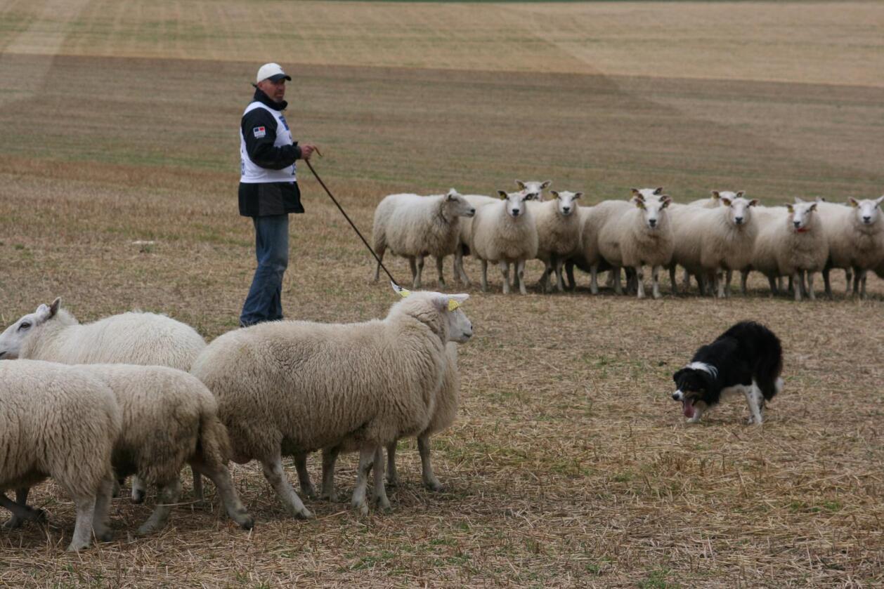 Mange tiltak: Gjeterformidling skal bidra både med kursing og forskning for å redusere tapene av sauer og andre husdyr på beite.