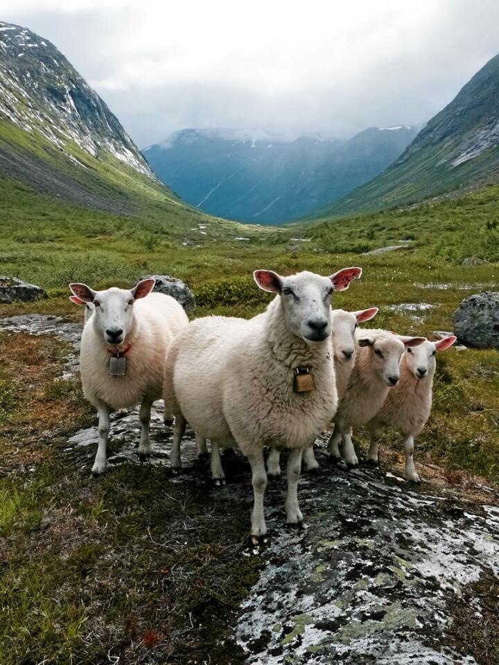 – Det er viktig å få svar på om sauen kan bli smittet. Det dreier seg om forvaltning og om hvorvidt Nordfjella fortsatt kan brukes som beiteområde, sier forsker Cecilie Ersdal. Illustrasjonsfoto: Shutterstoc