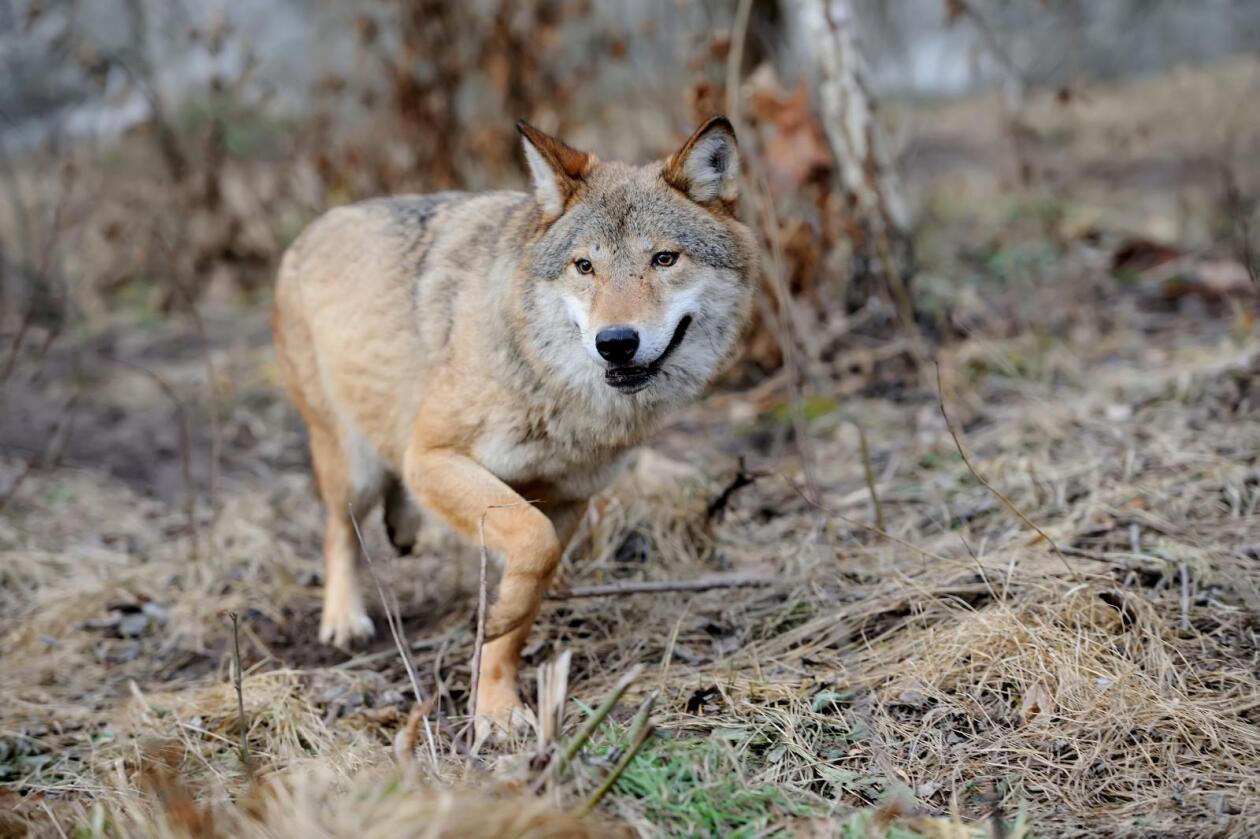 Farlig? Det foreligger ikke en tilstrekkelig fare for at ulv i de fire revirene vil forårsake alvorlig skade på husdyr og tamrein, kom lovavdelingen i Justis- og beredskapsdepartementet til. (Foto: Volodymyr Burdyak/Colourbox)