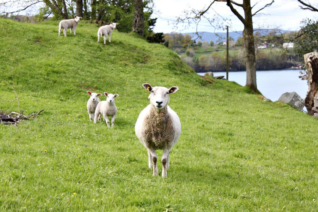 Ubalanse: Markedssituasjonen på sau og lam er fortsatt krevende, idet en ny lammesesong er like om hjørnet. (Foto: Camilla Mellemstrand)