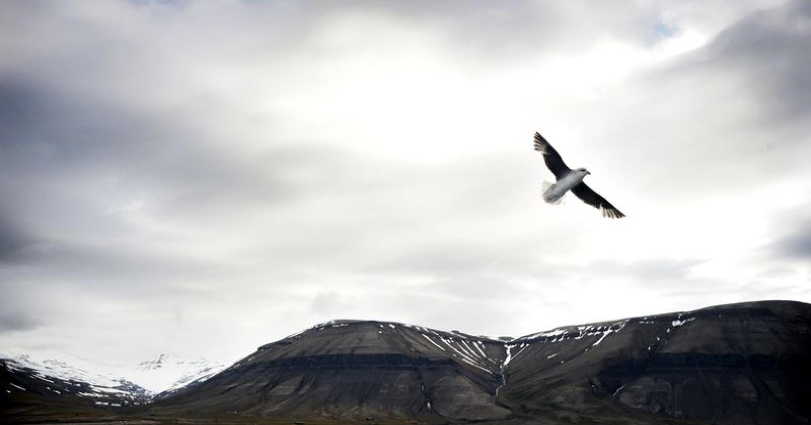 Ny studie viser ein nedgang i hekkebestand av europeiske fjellfugl. Foto: Siri Juell Rasmussen