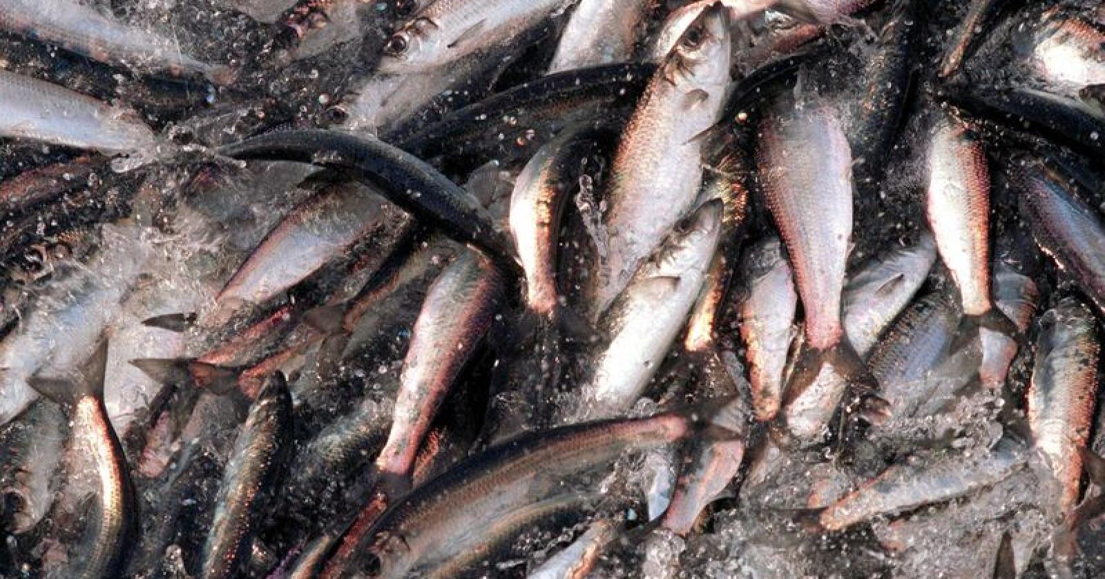 Silda omtales med rette som havets sølv - den glitrer og blinker der den spretter i notposen. Den er blant de fiskeartene som inneholder lite kvikksølv. Foto: Lise Åserud / NTB scanpix