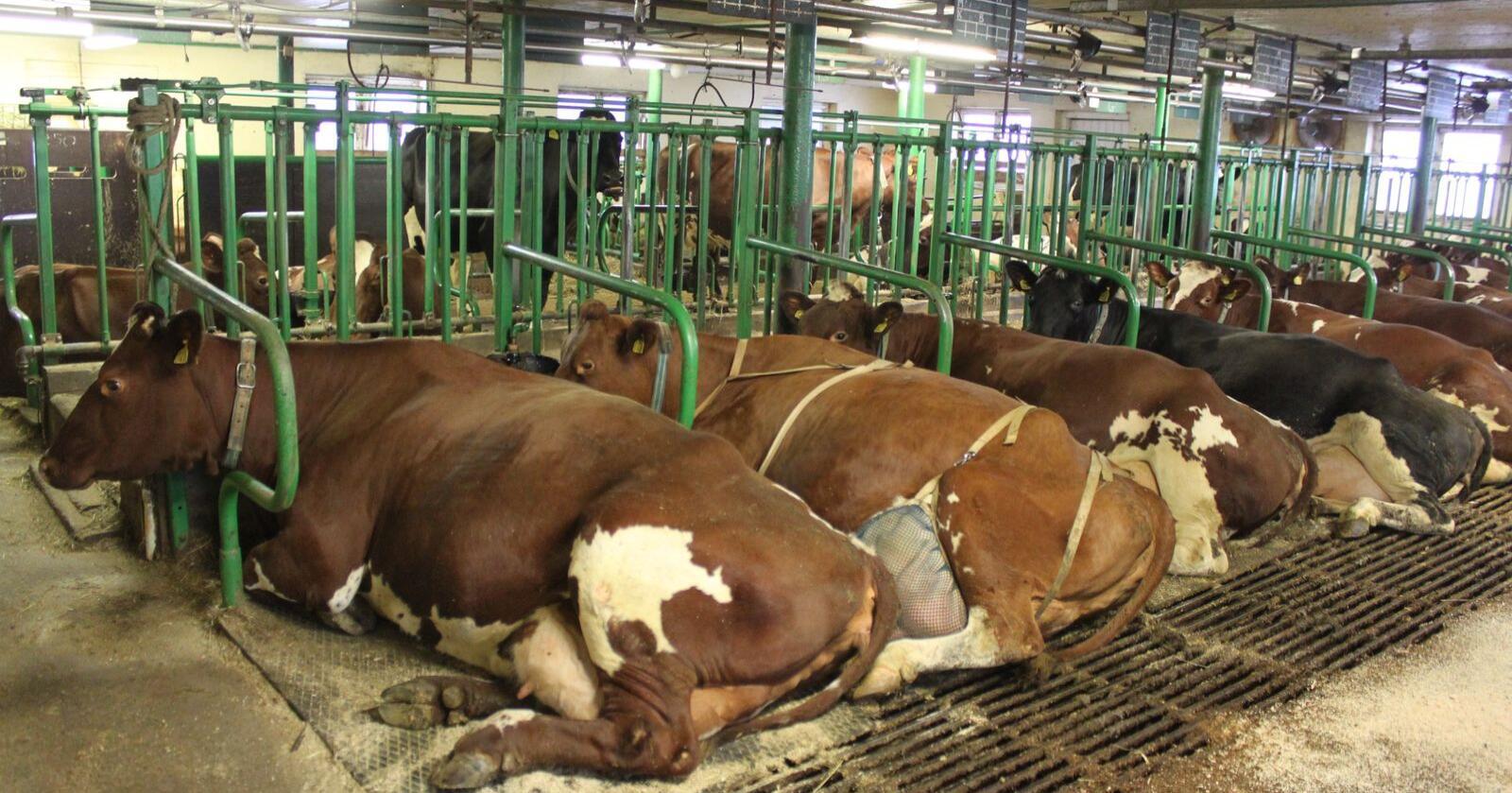 Mange av melkebrukene som skal legge om til løsdrift er små og mellomstore og ligger spredt i landet. (Arkivfoto)