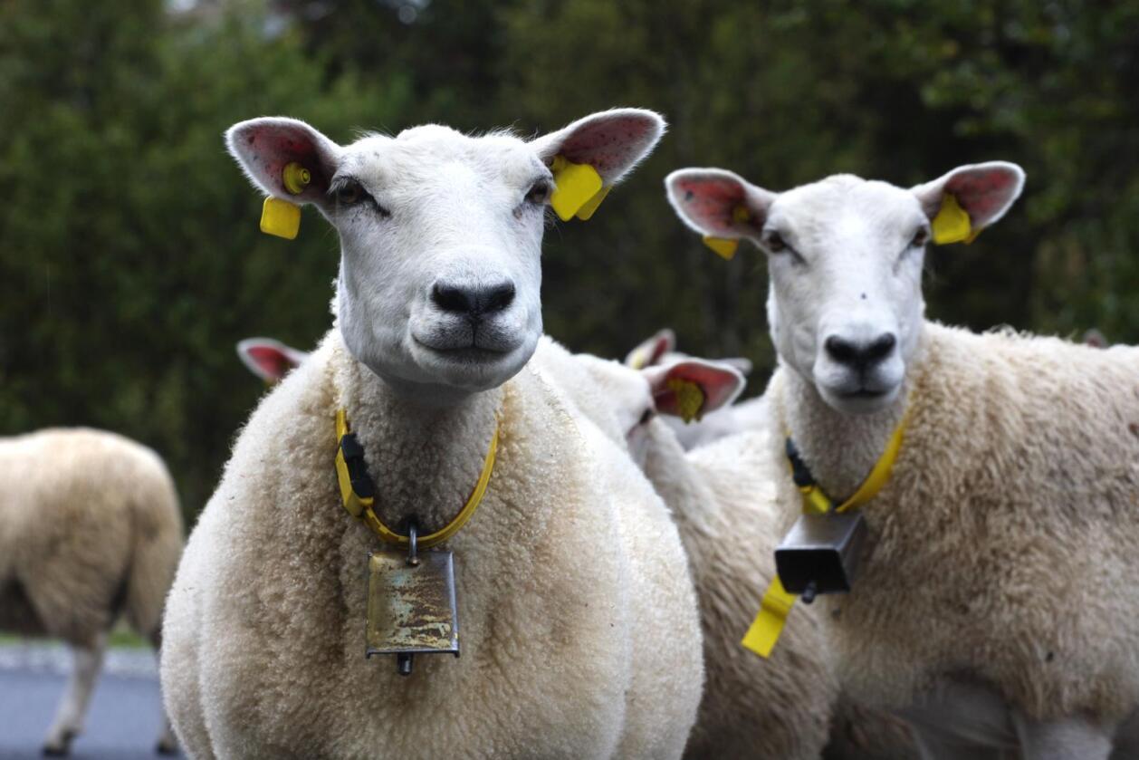 Med 1.500 tonn sauekjøtt på lager vil lammekjøttoverskuddet øke ytterligere i 2016. Totalmarked for kjøtt og egg forventer et kjøttoverskudd på 600 tonn. Foto: Colourbox