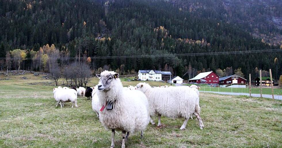 Stjernelam: Ingen steder i  landet slaktes flere stjernelam enn i Agder-fylkene. Foto: Camilla Mellemstrand