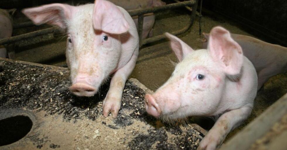 Eksportvare: Kjøtt frå svin utgjorde rundt 70 prosent av den samla kjøtteksporten på 9540 tonn i 2018, ein nedgang på 920 tonn frå året før. Foto: Bjarne Bekkeheien Aase