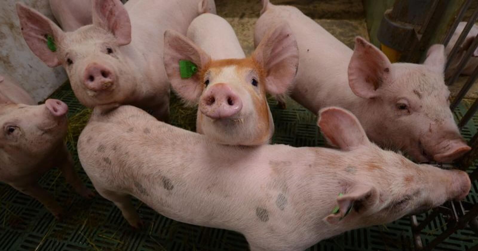 Nortura forventer per mai et underskudd på 2 000 tonn svinekjøtt i 2019. – Svært gledelig, konstaterer Norturas totalmarkedsdirektør Ole Nikolai Skulberg. Foto: Liv Jorunn Denstadli Sagmo