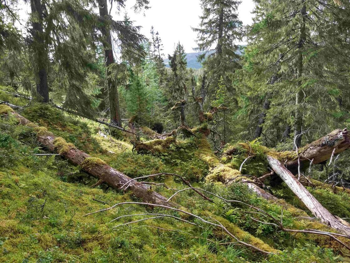 Gammel skog er et verdifullt leveområde for mange insekter og sopper. Her fra Steinkjerkommune.Foto: Aksel Granhus / Nibio