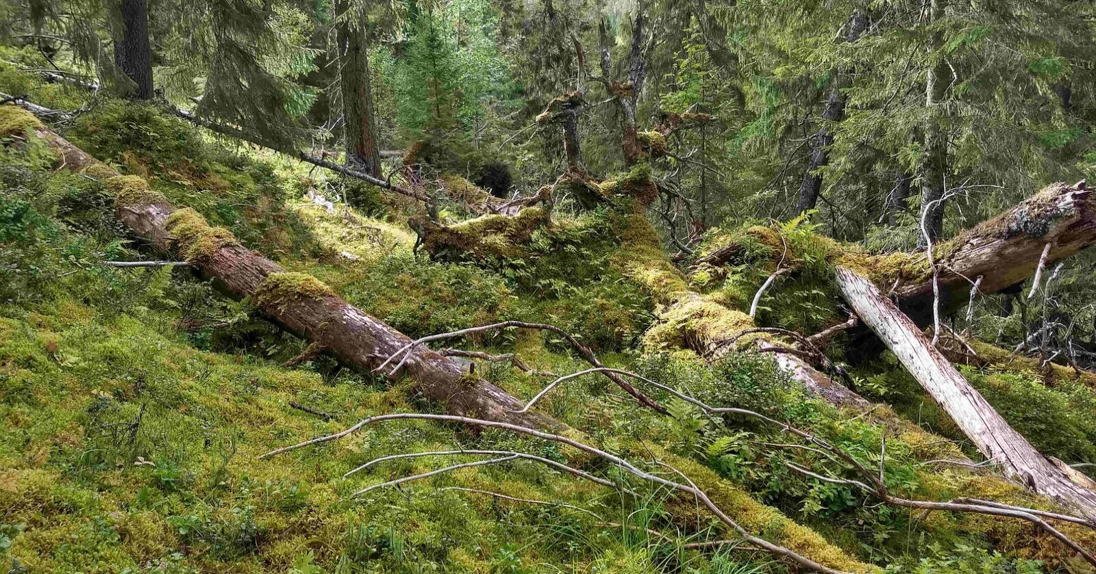 Gammel skog er et verdifullt leveområde for mange insekter og sopper. Her fra Steinkjer kommune.Foto: Aksel Granhus/Nibio