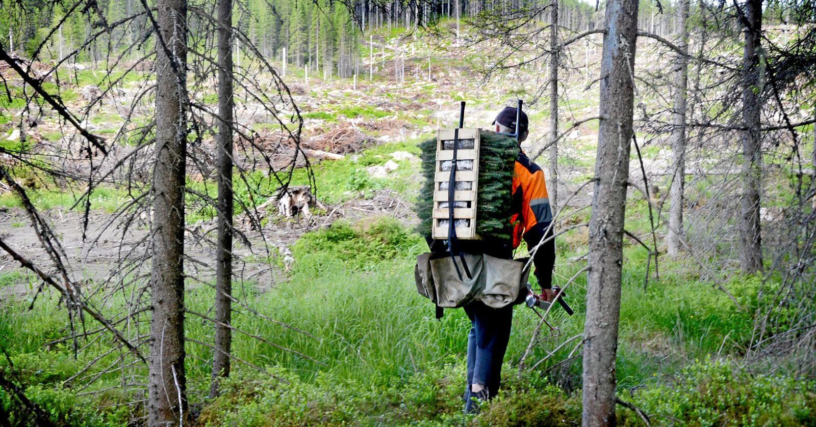 Skogplanting er ikke særlig smittefarlig. Man trenger ikke å jobbe tett på hverandre og frisk luft, mosjon og opphold i naturen skal være bra for både kropp og sjel, ifølge pålitelige kilder, skriver Skogselskapet. Foto: Mariann Tvete