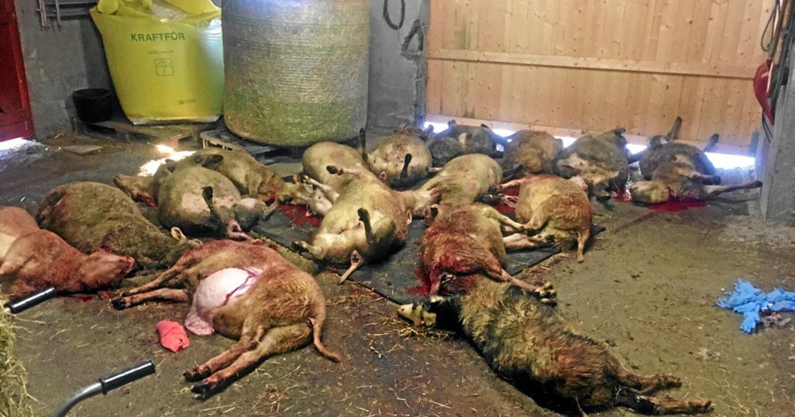 I alt seksten sauer måtte avlivast etter at ein hund hadde kome seg inn i fjøset til Hanne Næss natt til laurdag. Foto: Privat