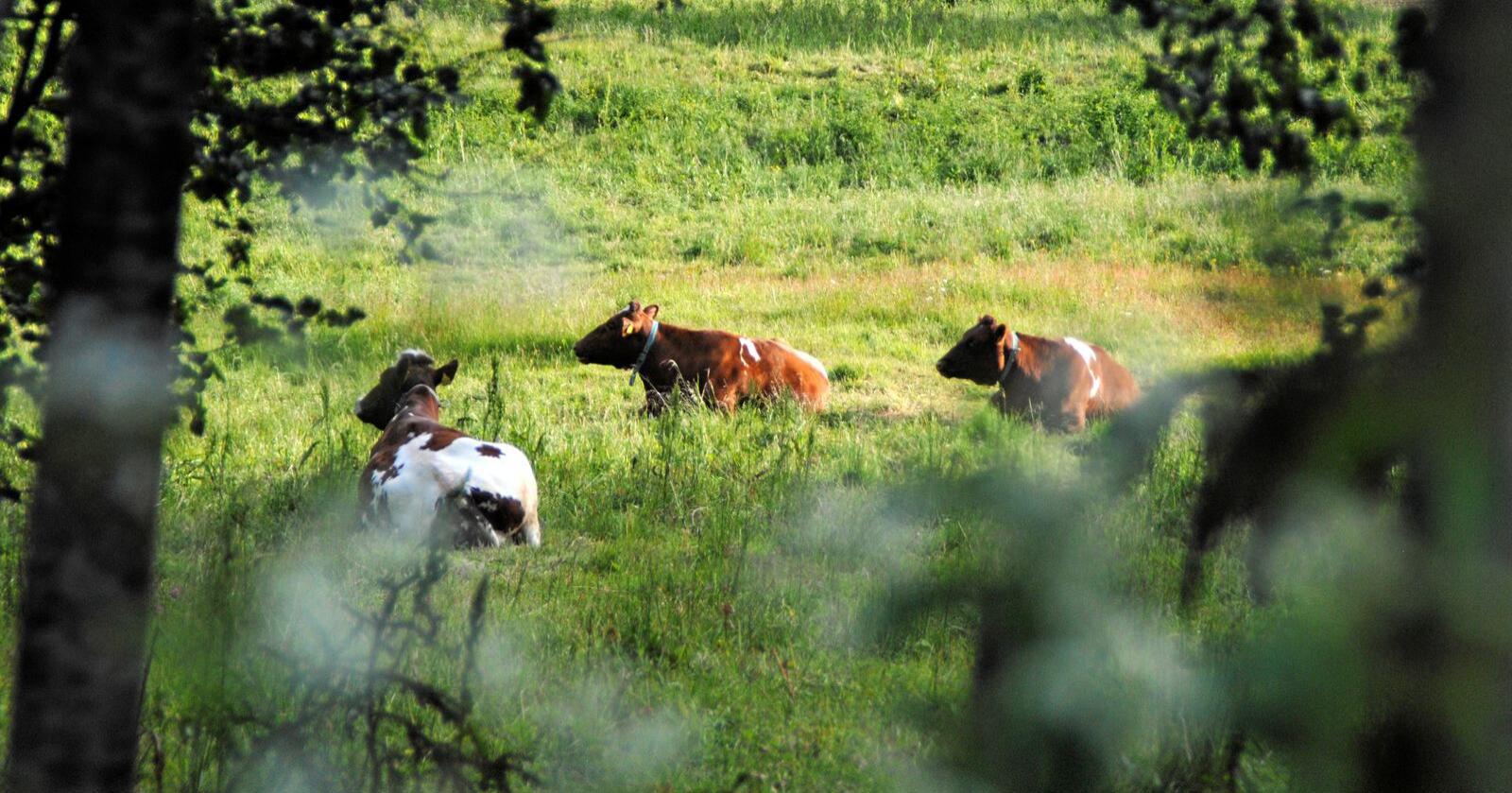 To kyr ble skutt i Blekinge i Sverige i fjor av en jeger som jaktet villsvin. Illustrasjonsfoto: Lars Bilit Hagen