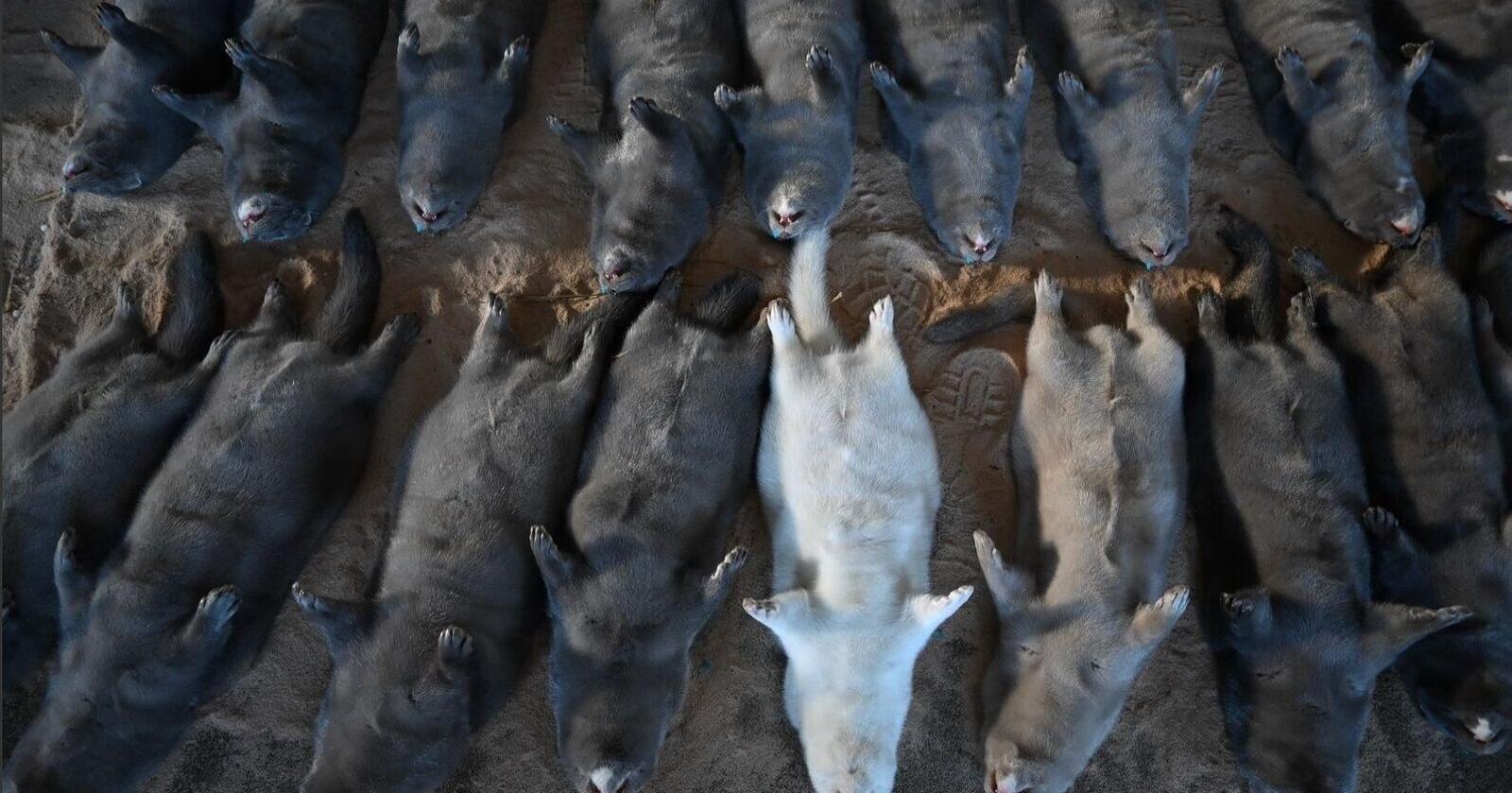 WHO avviste at mink-mutasjonen utgjorde en trussel for vaksinearbeidet. Flere andre tunge fagmiljø uttrykte også markant skepsis til dette. Allikevel ble samtlige danske mink avlivet. Bildet er tatt i Norge. Foto: Marit Glærum