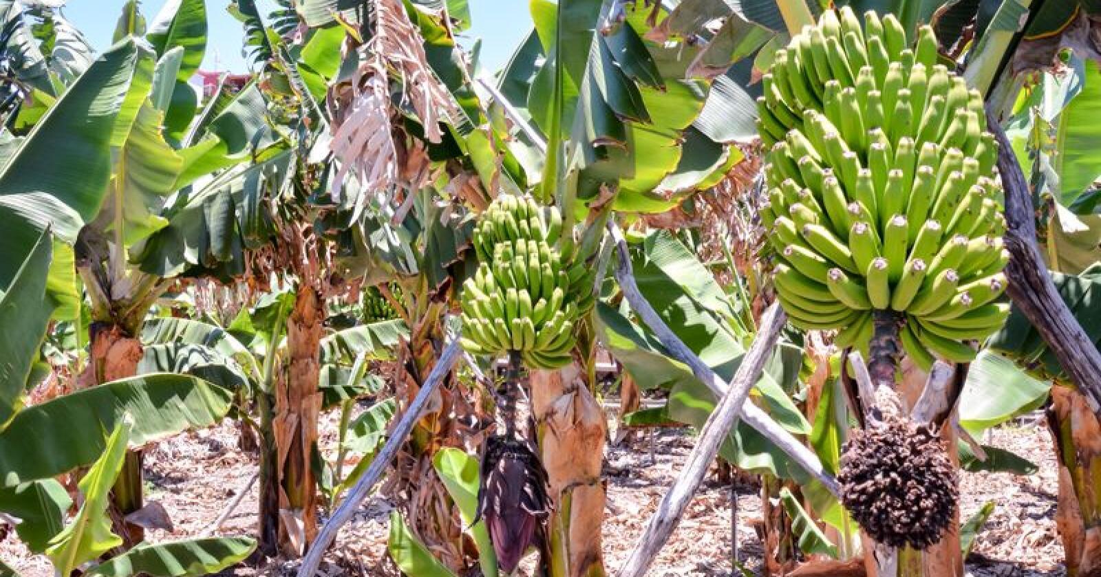 Bananplantasje på Kanariøyene. Foto: Colourbox