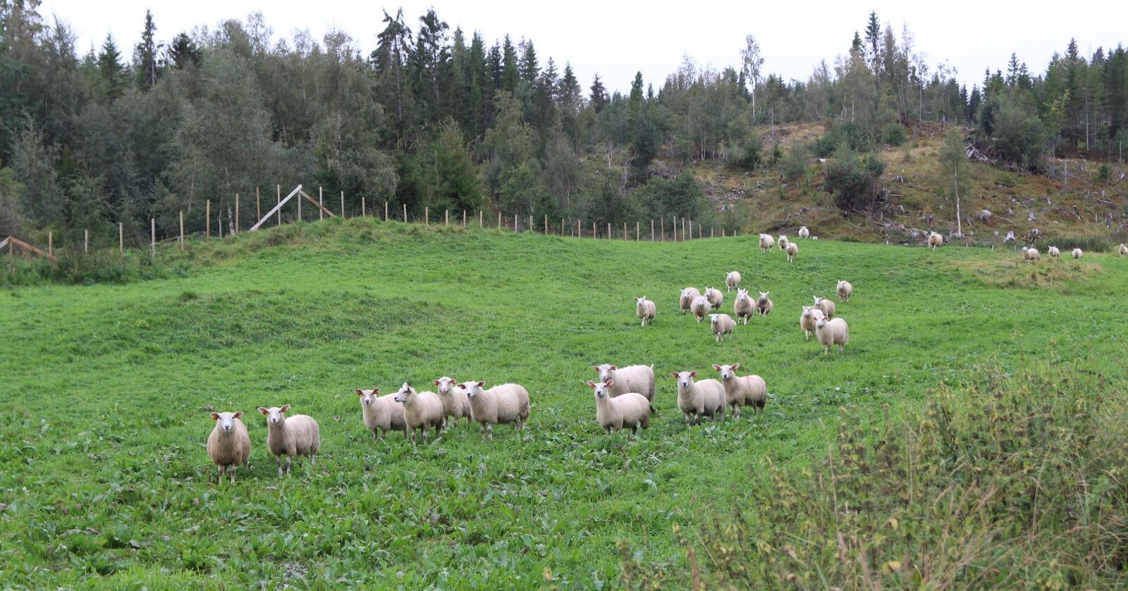 FORGIFTET: NLR advarer mot å slippe sauer på nyhøsta areal. Sauene på bildet har ingenting med saken å gjøre. Illustrasjonsfoto: Kristin Bergo.