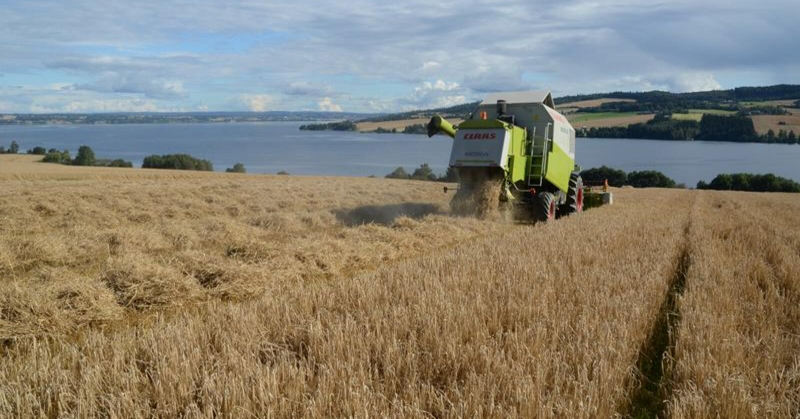 Fortsatt er det noe korn som ikke er høstet i bygdene på begge sider av Mjøsa. (Arkivfoto fra Nes i Ringsaker)
