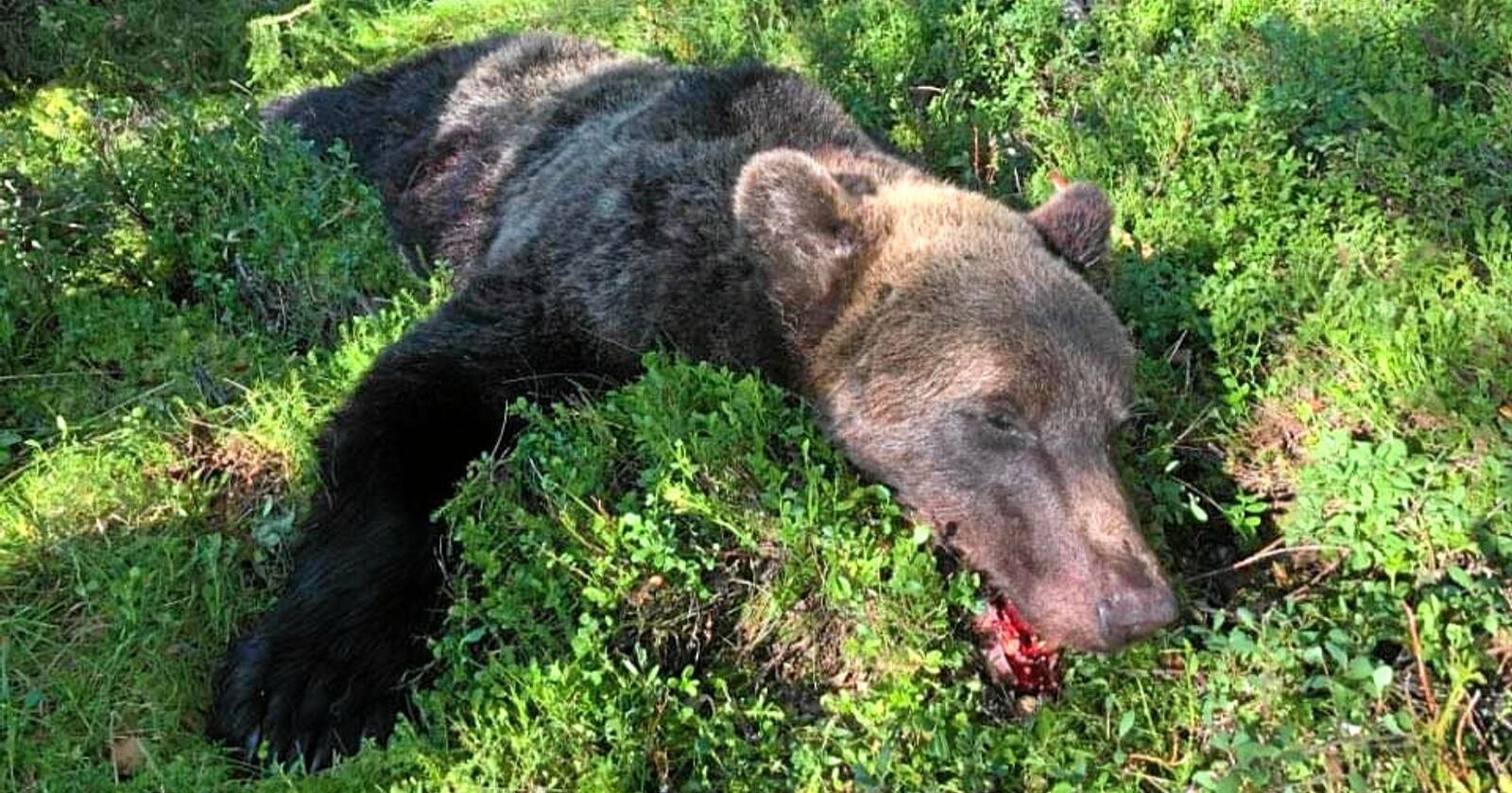 Bjørnen ble felt onsdag morgen i Rendalen. Foto: Privat