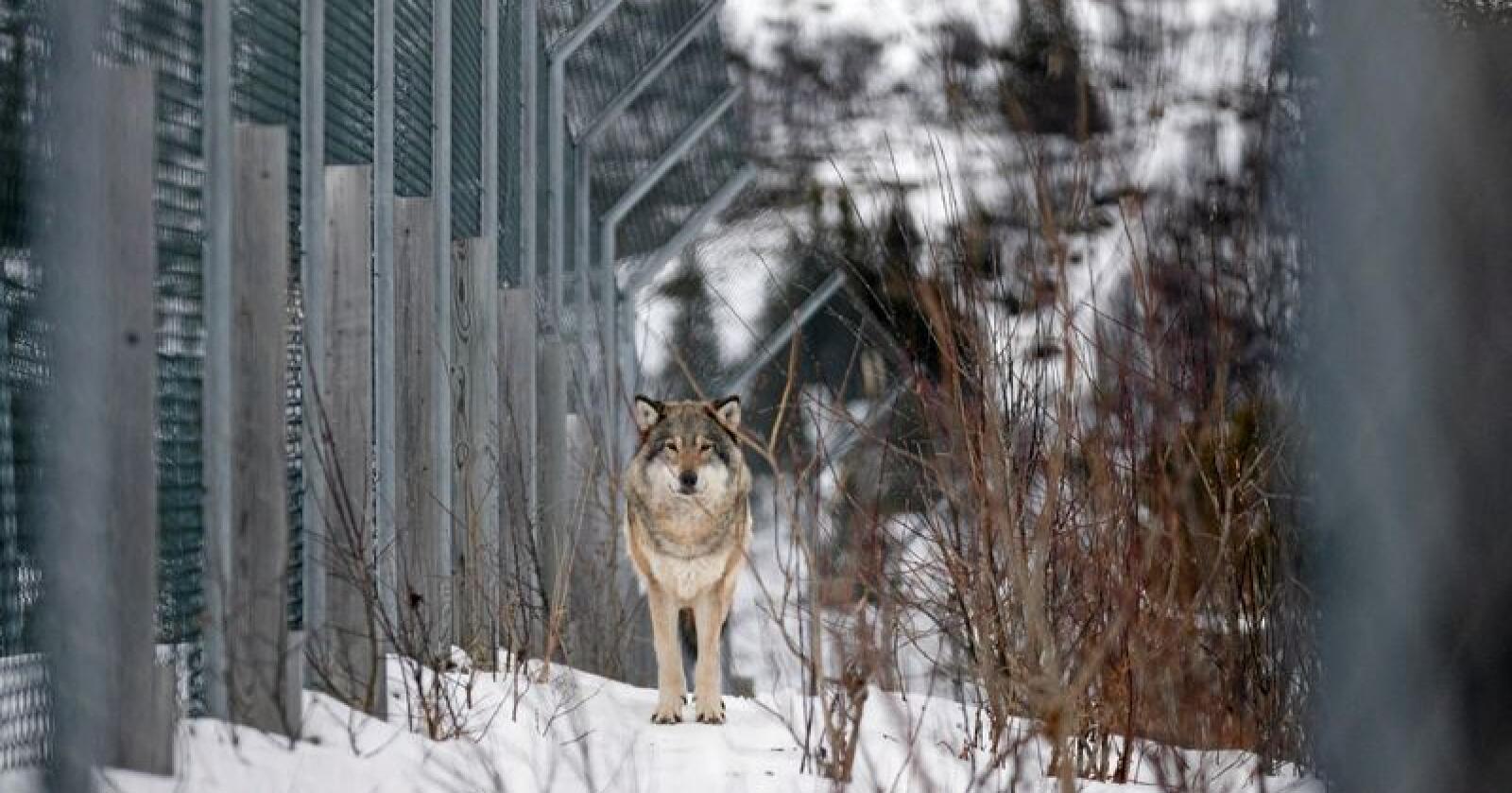 Denne ulven er fotografert i Langedrag naturpark i Buskerud. Nye analyser har skapt ny debatt om den skandinaviske ulvebestandens opprinnelse. Foto: Heiko Junge / NTB scanpix