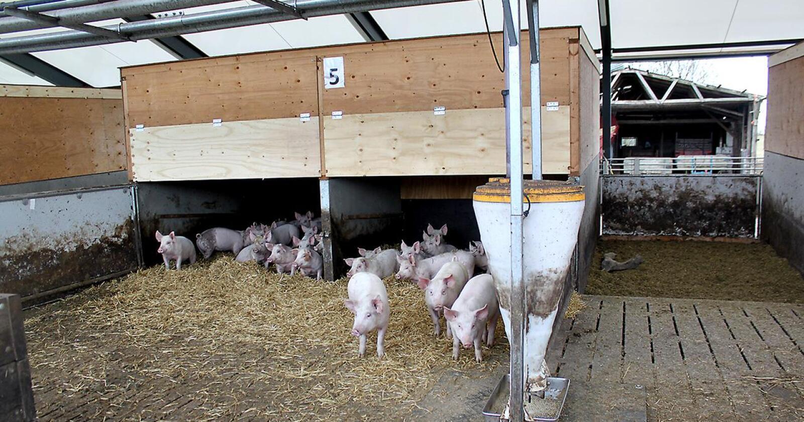 Den siste grisegården med smitte ligger tett på den ene gården som ble konstatert smittet torsdag sist uke. (Illustrasjonsfoto: Norsk Landbruk)