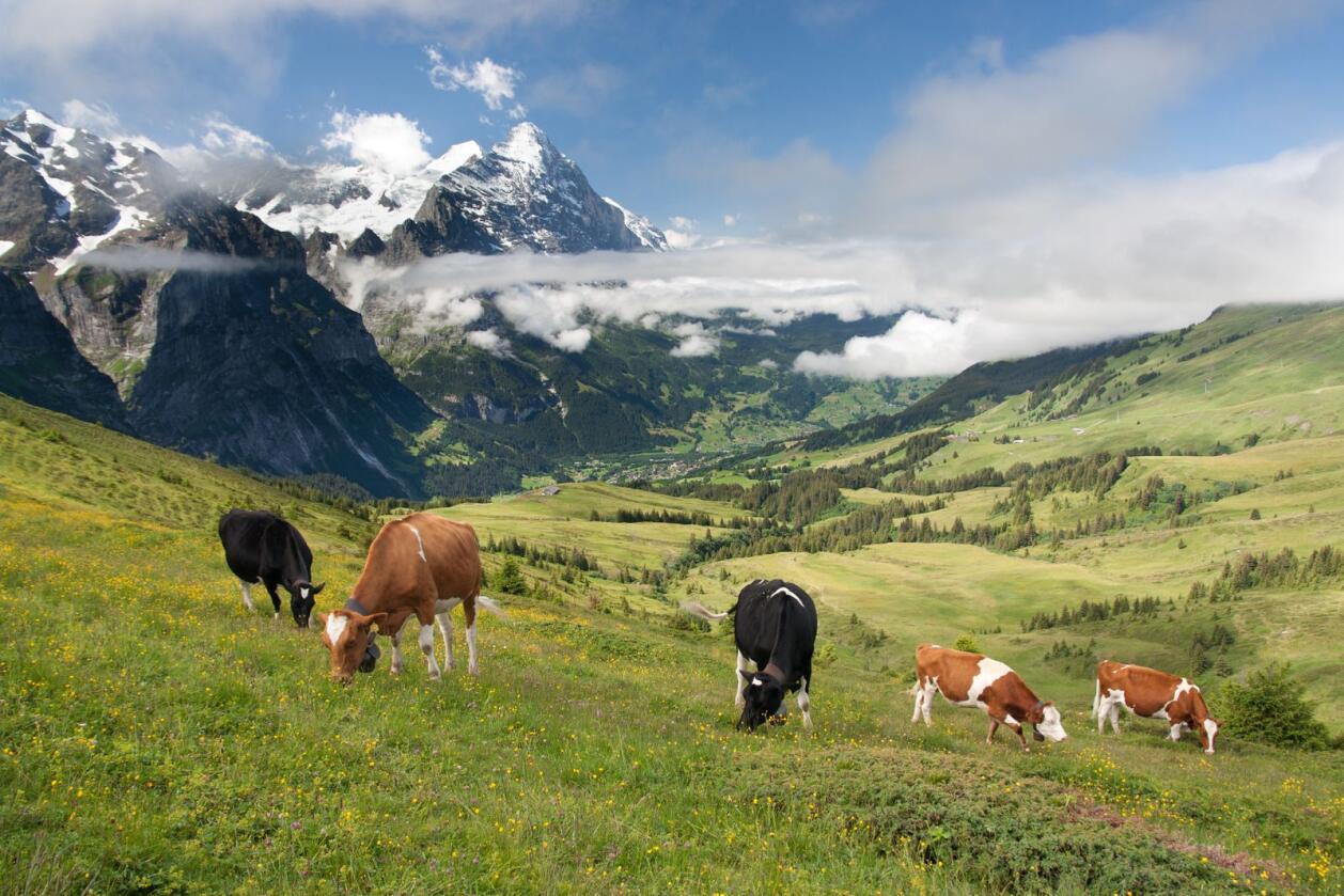 Gressende kyr i nærheten av Bern-Alpene i Sveits. Foto: Jakub Jirsak/Mostphotos