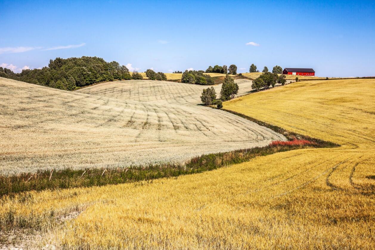 Norske bønder kan bli bedt om å produsere mer i år, grunnet koronakrisen. Avbildet: En kornåker på Romerike. Foto: Halvard Alvik / NTB scanpix