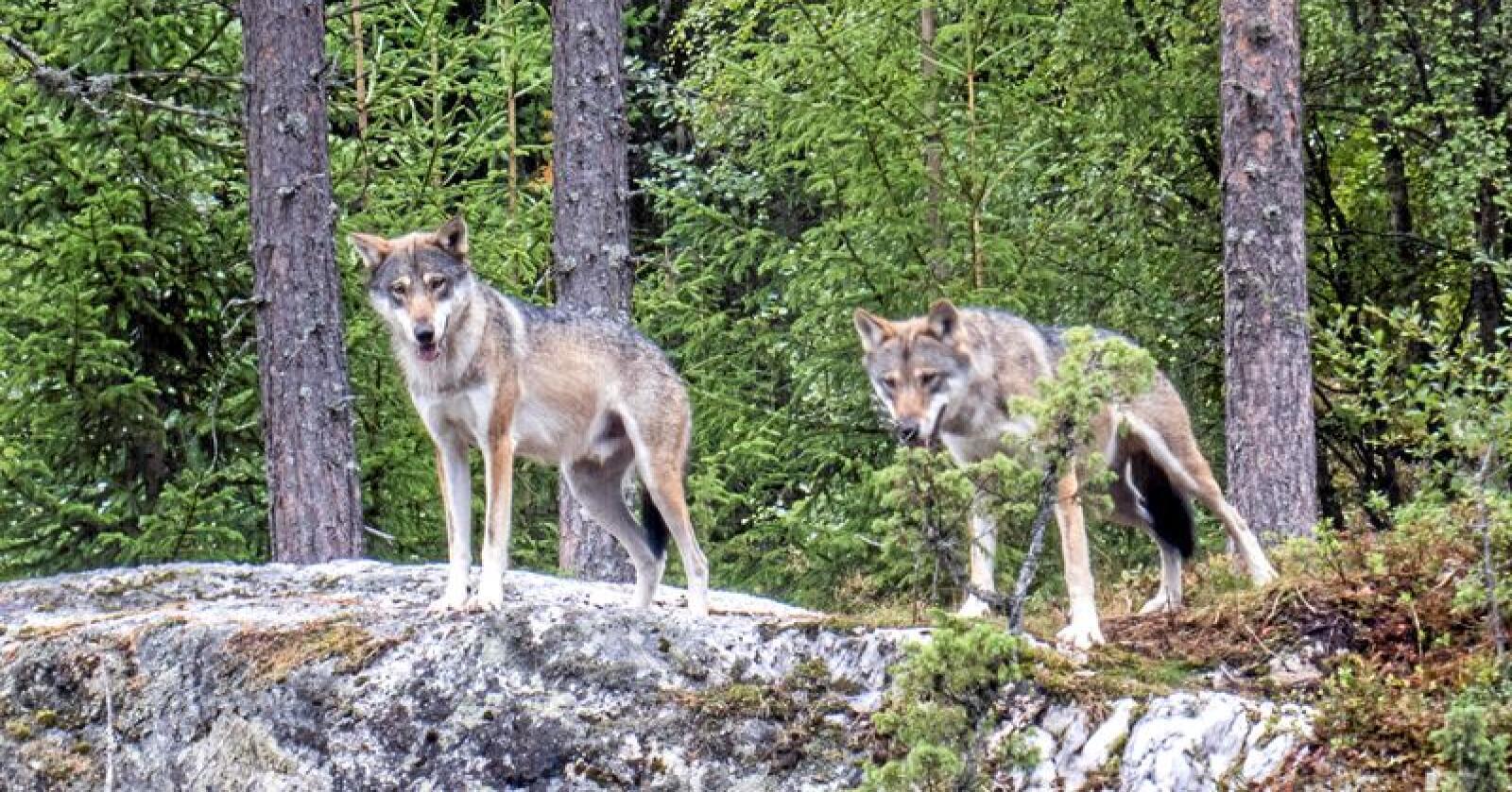 Ulv, her i bjørneparken i Flå. Foto: Paul Kleiven / NTB scanpix