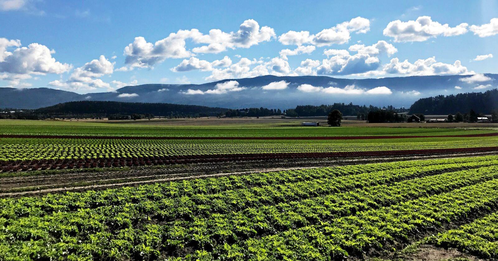 Grønnsaker og bær skal høstes, men hvem kan gjøre jobben denne sesongen. Mange i Grøntnæringen fortviler over mangel på arbeidskraft. Arkiv foto: Lars Bilit Hagen