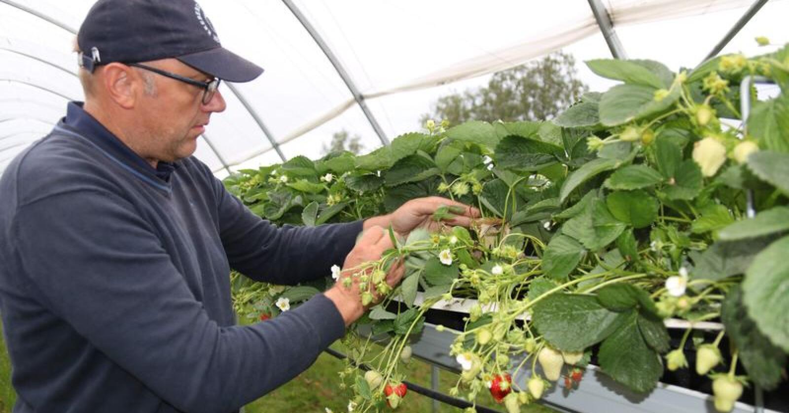 Simen Myhrene gir opp produksjon av økologiske jordbær, men kommer ikke til å sprøyte noen jordbær mot meldugg neste år. Foto: Dag Idar Jøsang