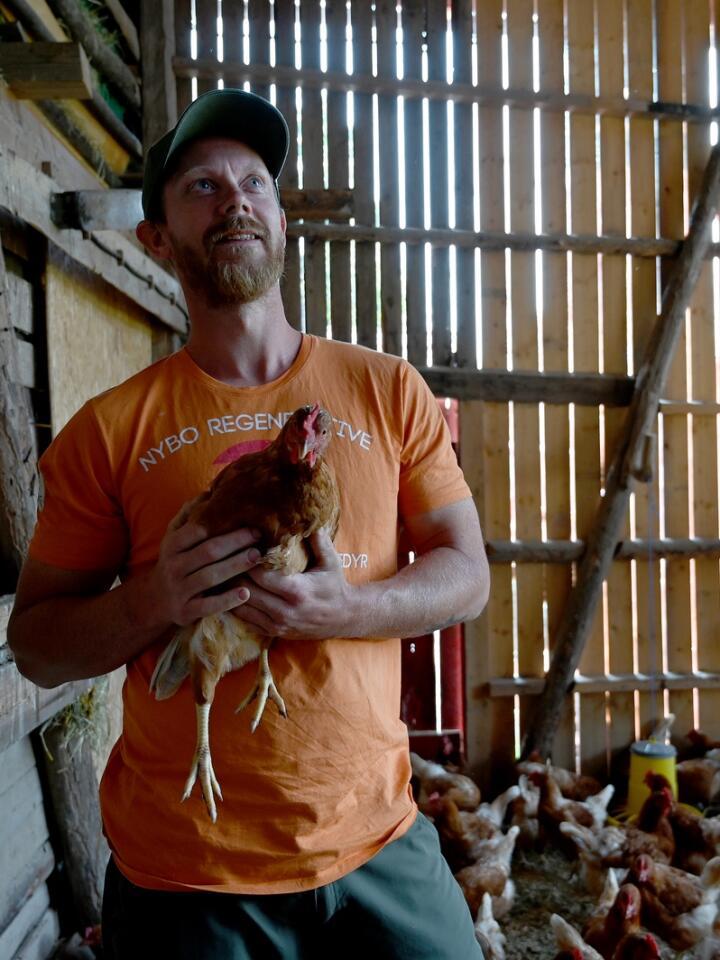 På grunn av fugleinfluensa må hønene til Espen Thunelle Ringstad gå under tak. Det skaper store problemer for utehøns bonden. Foto: Mariann Tvete.