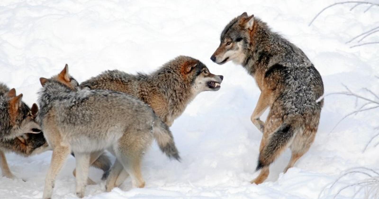 Rovdata er igjen i gang med å telle antallet ulver i Norge. De ber om tips. Illustrasjonfoto: Felix André Skulstad / Mostphotos