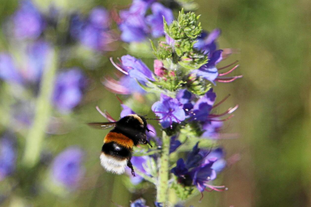 Pollinering: I Norge har vi 35 ulike humlearter som pleier landskapet og bidrar til å vedlikeholde det biologiske mangfoldet. Foto: NINA