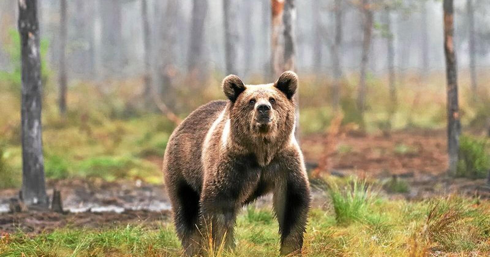 Klima- og miljødepartementet mener rovviltnemnda i region 6 må sette av et større område som prioritert yngleområde for bjørn. Foto: Mostphotos