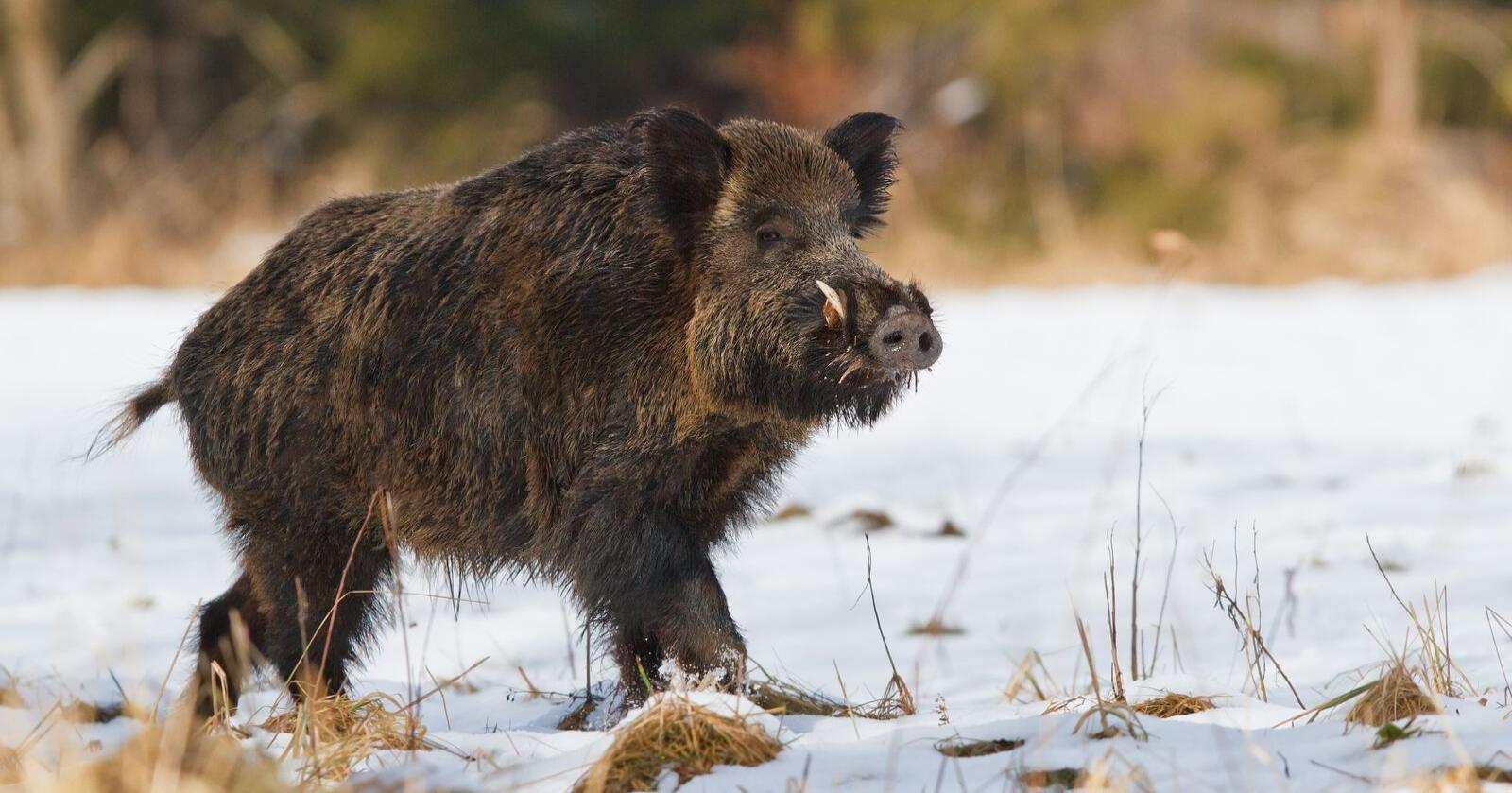 Antallet utbrudd av afrikansk svinepest i villsvin har i år eskalert kraftig i flere øst-europeiske land. Den svært smittsomme virussykdommen hos gris, har også rykket stadig nærmere Norge. Foto: Shutterstock