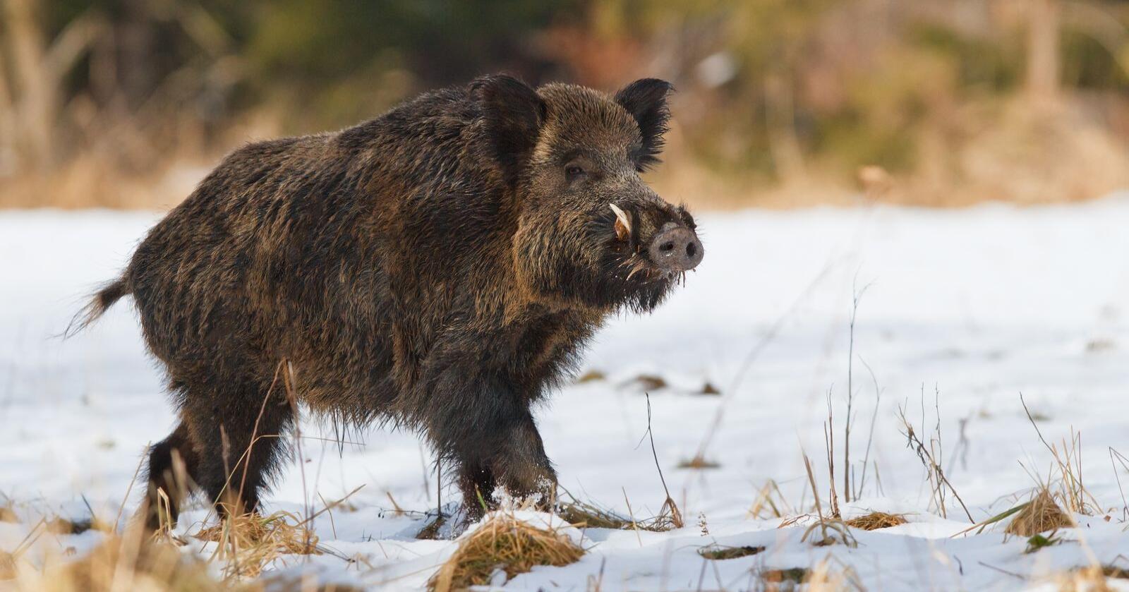 Elvia tok ikke sjansen på å sende ut montører til Eidskog torsdag kveld, på grunn av aggressive og uforutsigbare villsvin i området. Mørkt var det også. Først etter et halvt døgn, fikk kundene strømmen tilbake, ifølge NRK Innlandet. Foto: Shutterstock