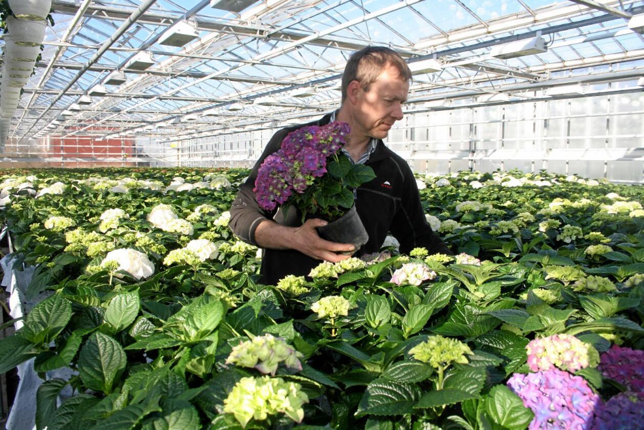 Må slutte: Gartnar Ove Horpestad på Jæren seier han må leggje ned produksjonen av stor hortensia som følgje av den auka tollfrikvoten Noreg vil gje EU. Foto: Bjarne Bekkeheien Aase.