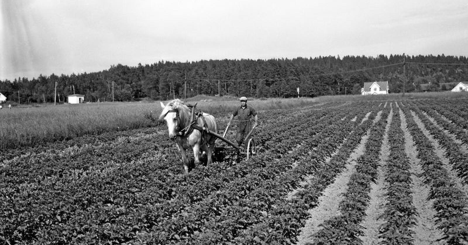 Hestekrefter: Potethypping i Borre i 1953. Hesten er død, arbeideren har dagpenger. Foto:  NTB / Scanpix