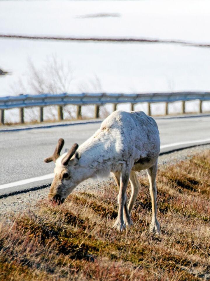Langs enkelte veistrekninger er risikoen stor for å møte på reinsdyr. Forskerne ønsker å bidra til å begrense antallet årlige påkjørsler. Foto: Morten Günther
