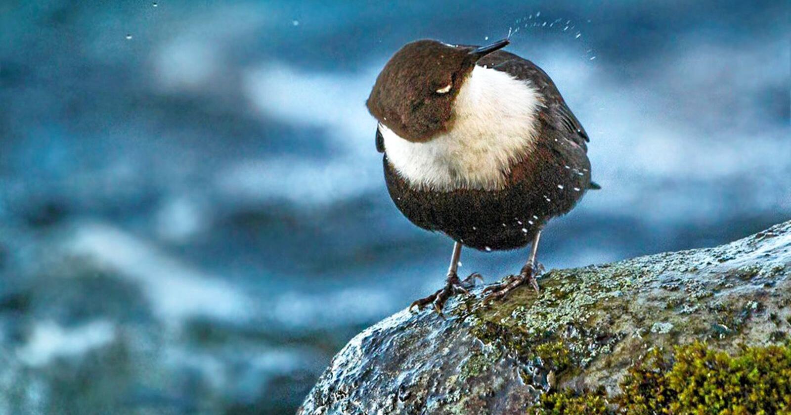 Foss: Norges nasjonalfugl fossekallen bygger gjerne reir i fossespruten. Foto: Per Harald Olsen / NTNU